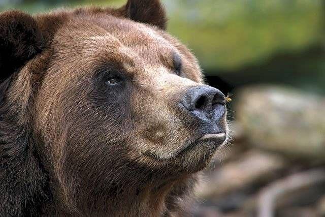 Pyreneisk brunbjørn (Ursus arctos pyrenaicus)
