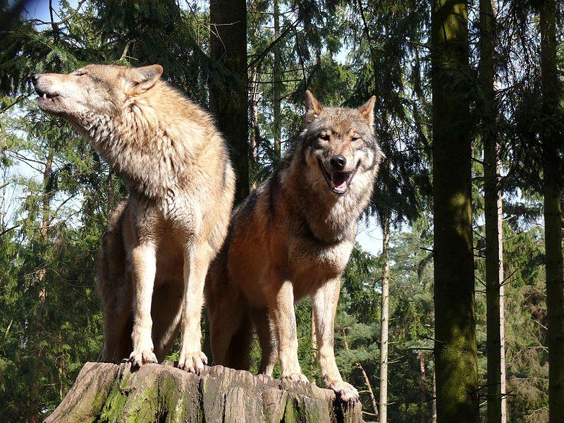 Ulv, Canis lupus