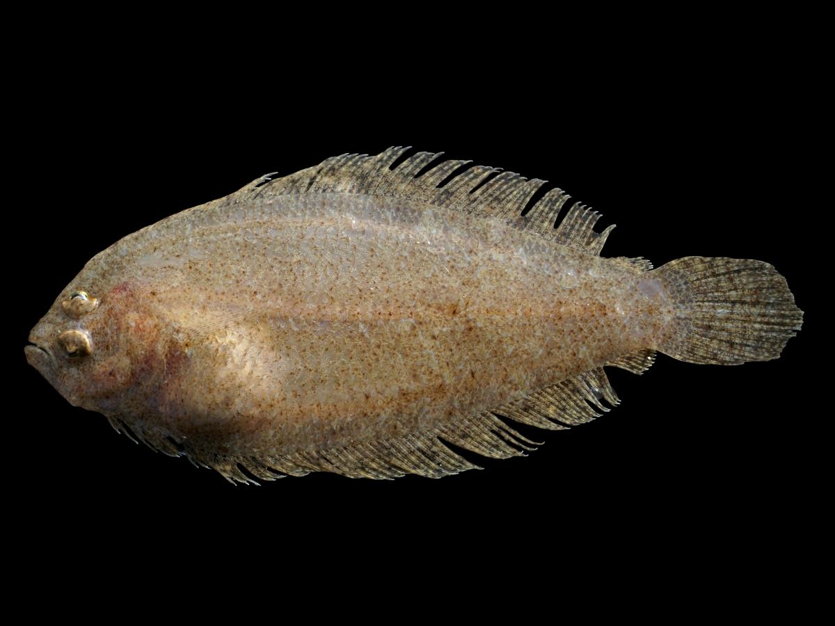 Arnoglossus laterna