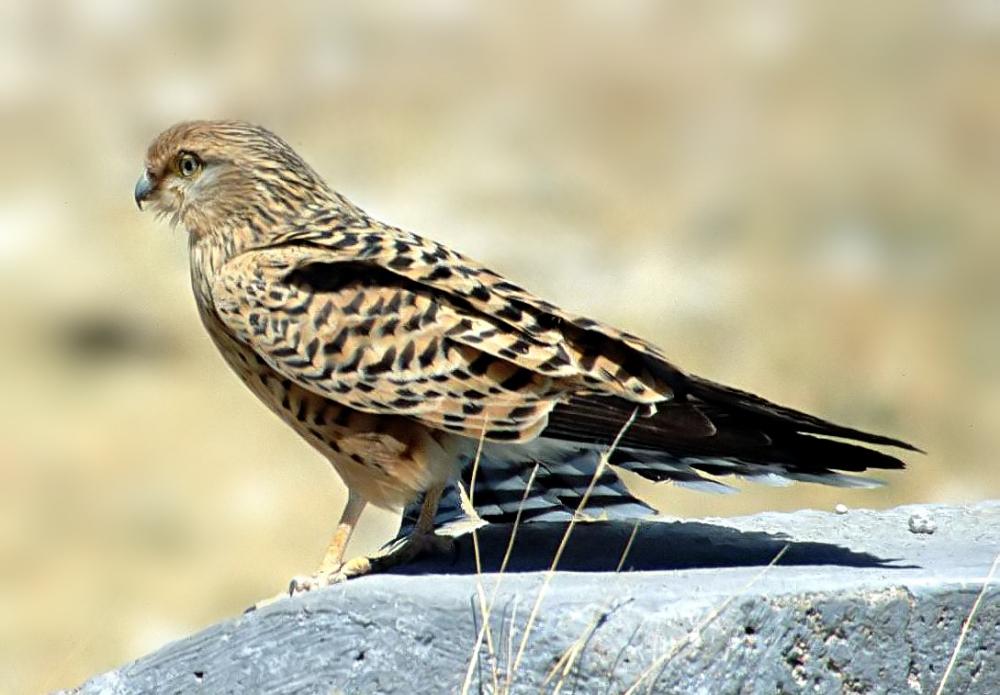 Falco rupicoloides