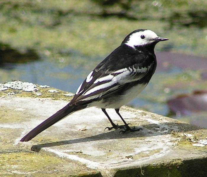 Den britiske underarten Motacilla alba yarrellii har mer svart i fjærdrakten enn fuglene på kontinentet