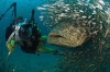 Dykking: Stor fisk