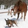 Hest på hundejakt