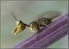 Insekt med store kjever