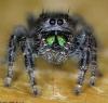 Edderkopp med mange øyne