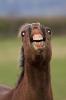 Hest som ler