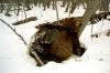 Bjørn som leker i snøen