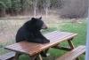 Svartbjørn som sitter på en benk