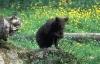 Ung svartbjørn som lukter på en blomst