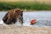 Bjørn som fisker