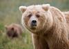 Bjørner i gresset