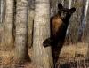 Stor bjørn som gjemmer seg bak et lite tre