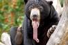 Bjørn som geiper