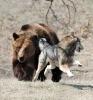 Ulv som jages av en bjørn