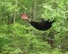 Svartbjørn som klatrer opp til et fuglehus