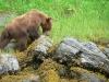Bjørn som spiser stein