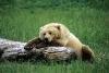 Bjørn som sover på en trestokk