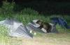 Bjørn som bruker et telt som laken