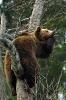 Bjørn som sover i et tre
