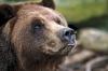 Bjørn som lukter på et insekt