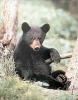 Ung svartbjørn som har pause