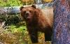 Grizzlybjørn som gjemmer seg bak et tre