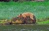 Lat bjørn som sover på en trestokk