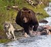 Bjørn på ulvejakt