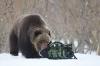 Sulten bjørn