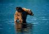 Bjørnebarn som rir på mor