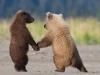 Baby bjørner som leier hverandre