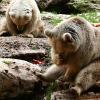 Flaue bjørner