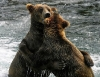Bjørner som klemmer hverandre
