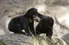 Bjørnebarn som kysser