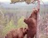 Bjørner som har oralsex