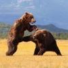 Karatebjørner som sloss