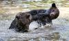 Svartbjørner som leker i vannet