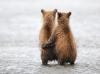 Små brunbjørner på stranden