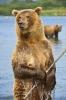 Brunbjørner på fisketur