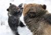 Babybjørn som snakker med mamma