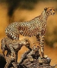 Gepardmor med barn