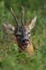 Hjort som gjemmer seg i høyt gress