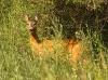 Hjort i høyt gress