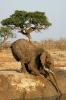 Elefant som drikker