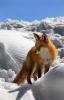 Rødrev i snøen
