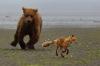 Bjørn som jager en rødrev