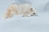 Hvitrev som spiser snø