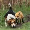 Rev som sniker seg inn på en hund