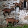 Geiter som klatrer på veggen