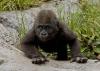 Gorillaunge